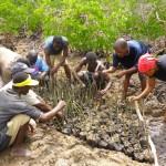 Realizzazione di una nursery per le mangrovie.